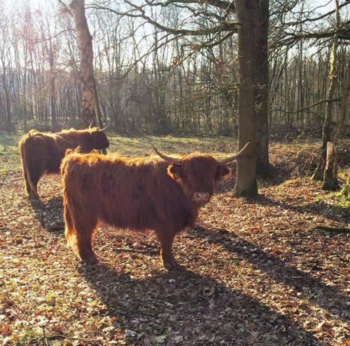 highland-cattle-stratumse-heide