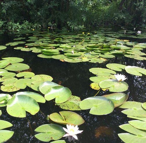pond-lilies-heempark-eindhoven